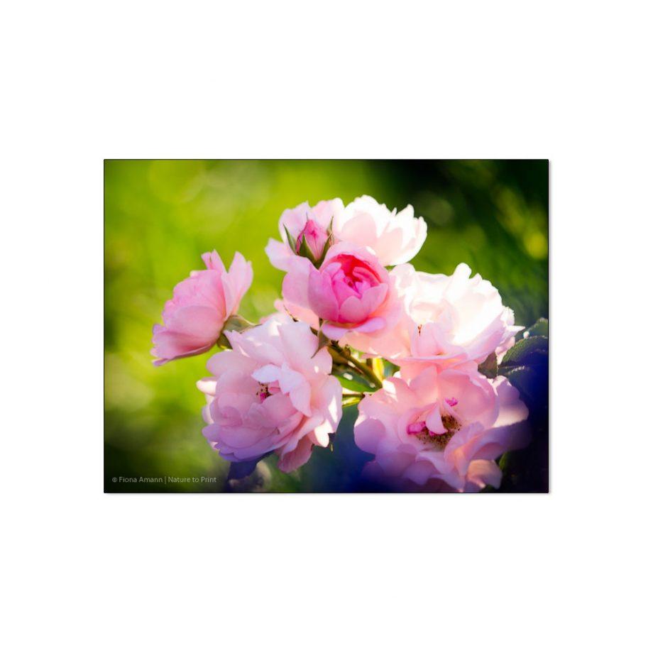 Morgens Mit Rose Sommerwind An Lavendel   Rosenbilder innen Blumenbilder Rosen