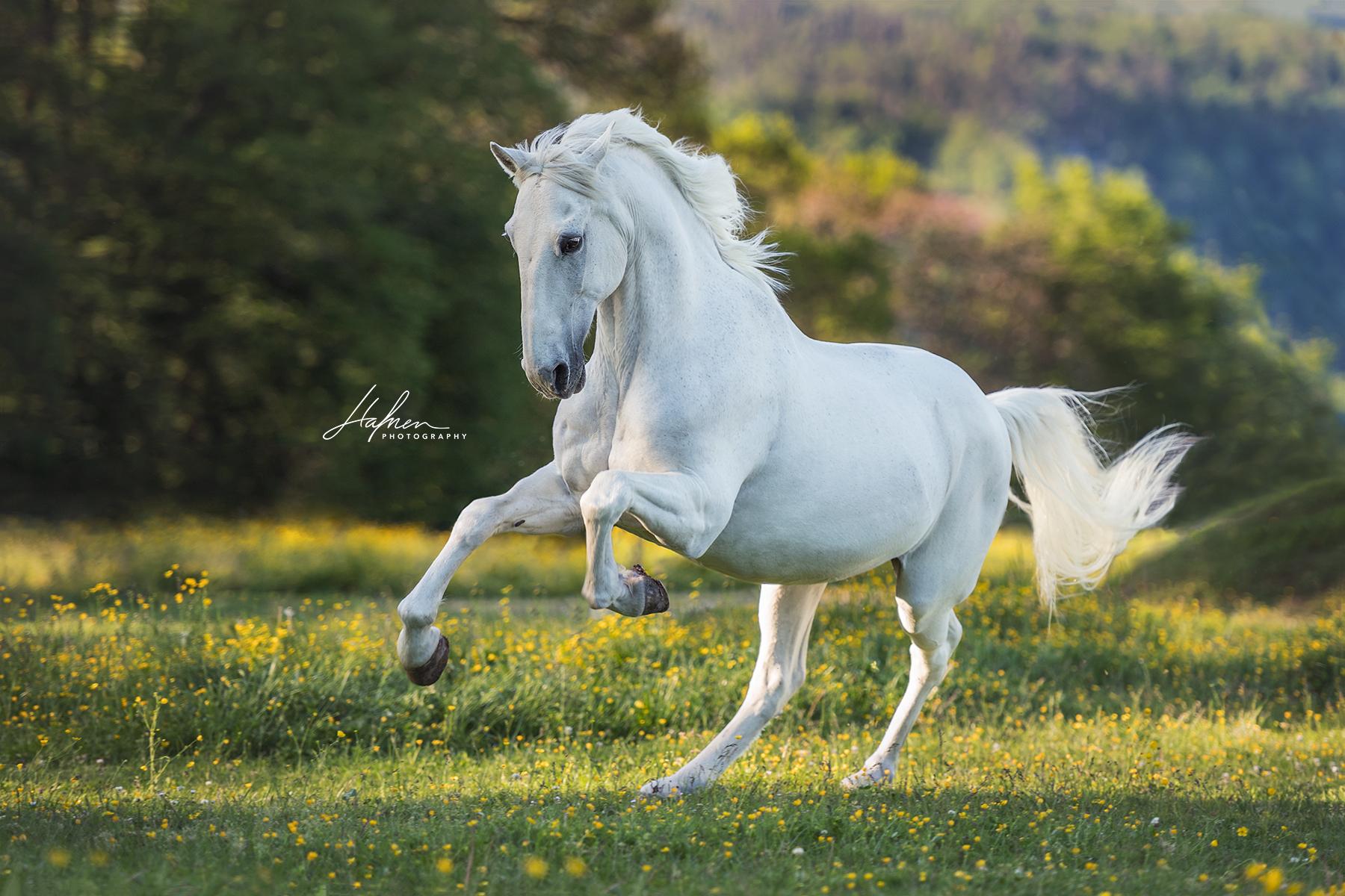 Percheron Pferde Bilder Kostenlos Herunterladen | Bilder Und ganzes Pferde Bilder Kostenlos Herunterladen