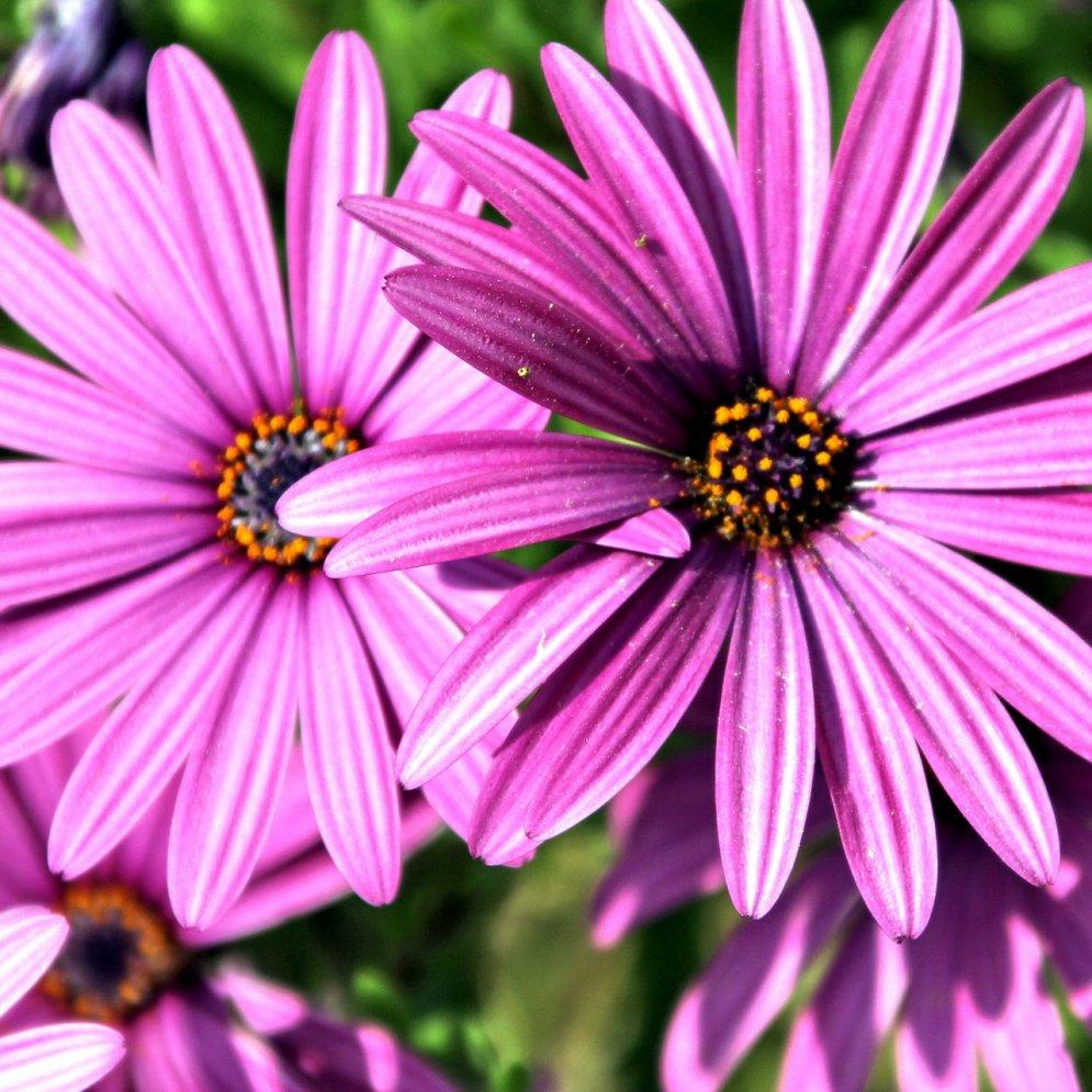 Pflanzen Lila Gratis Bild Herunterladen verwandt mit Pflanzen Bilder Kostenlos