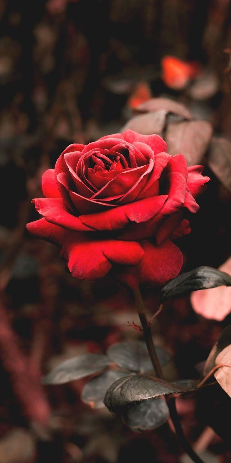Red Rose - This Is  Me   Fotos De Fondo De Pantalla bei Blumenbilder Rosen