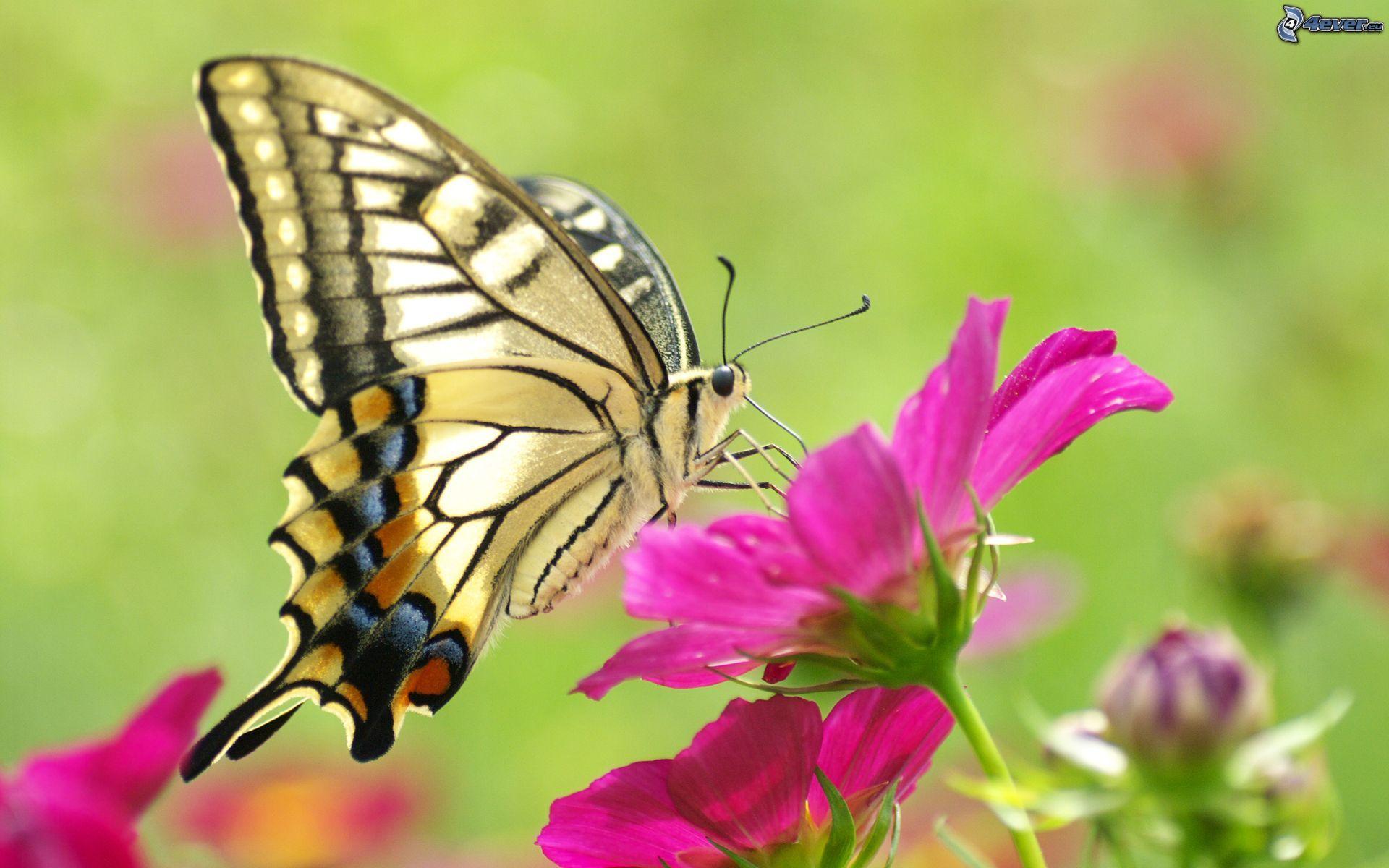Schmetterling | Schmetterling Auf Der Blume (Mit Bildern ganzes Hintergrundbilder Blumen Und Schmetterlinge