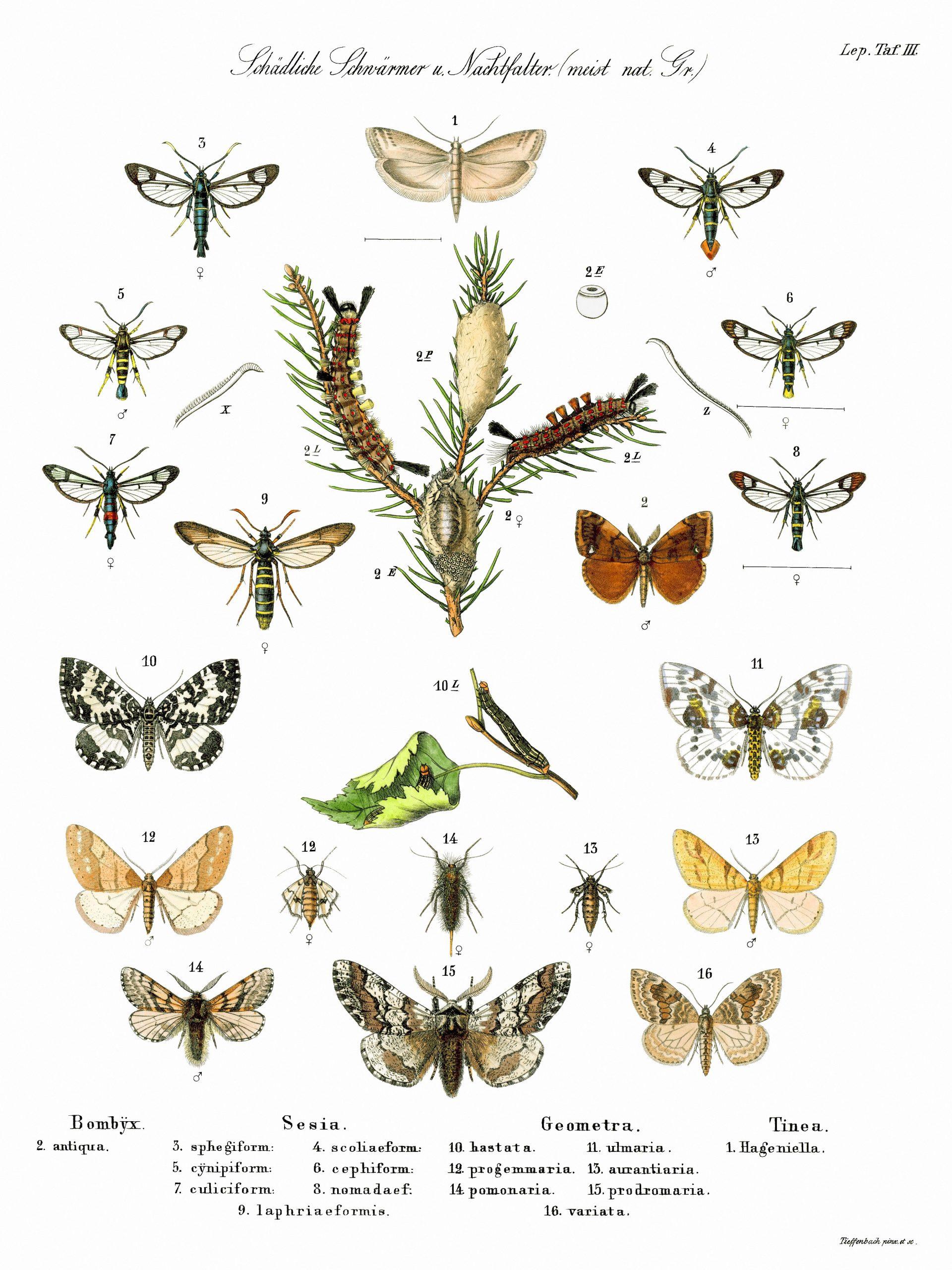Schmetterlinge – Wikipedia bestimmt für Schmetterling Insekt