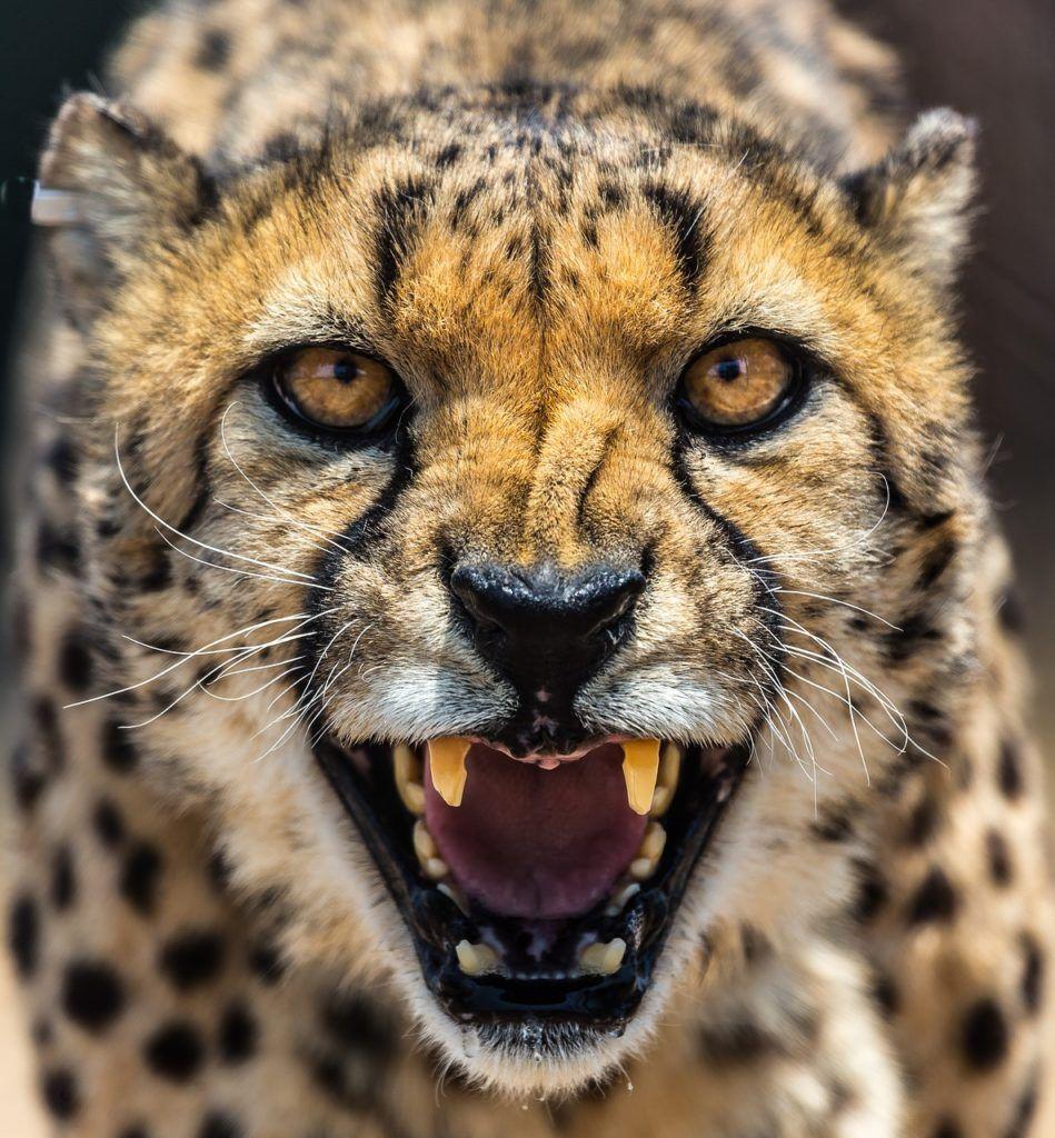 Schnellste Tier Der Welt. Der Gepard Ist Es Nicht! (Mit bestimmt für Was Ist Das Schnellste Tier Der Welt