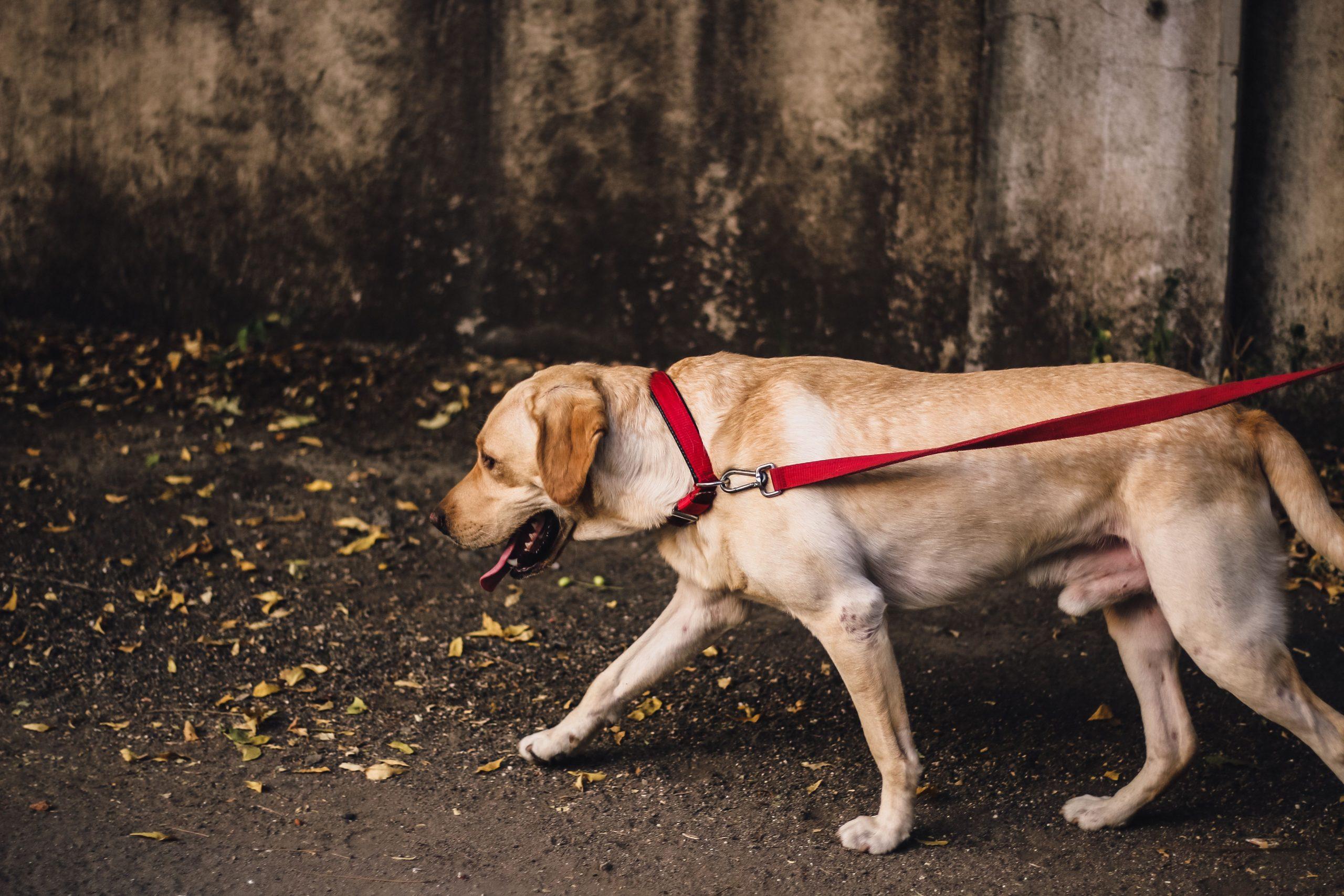 So Zieht Dein Hund Nicht Mehr An Der Leine | Hunde, Hunde über Hund Zieht Stark An Der Leine Was Tun