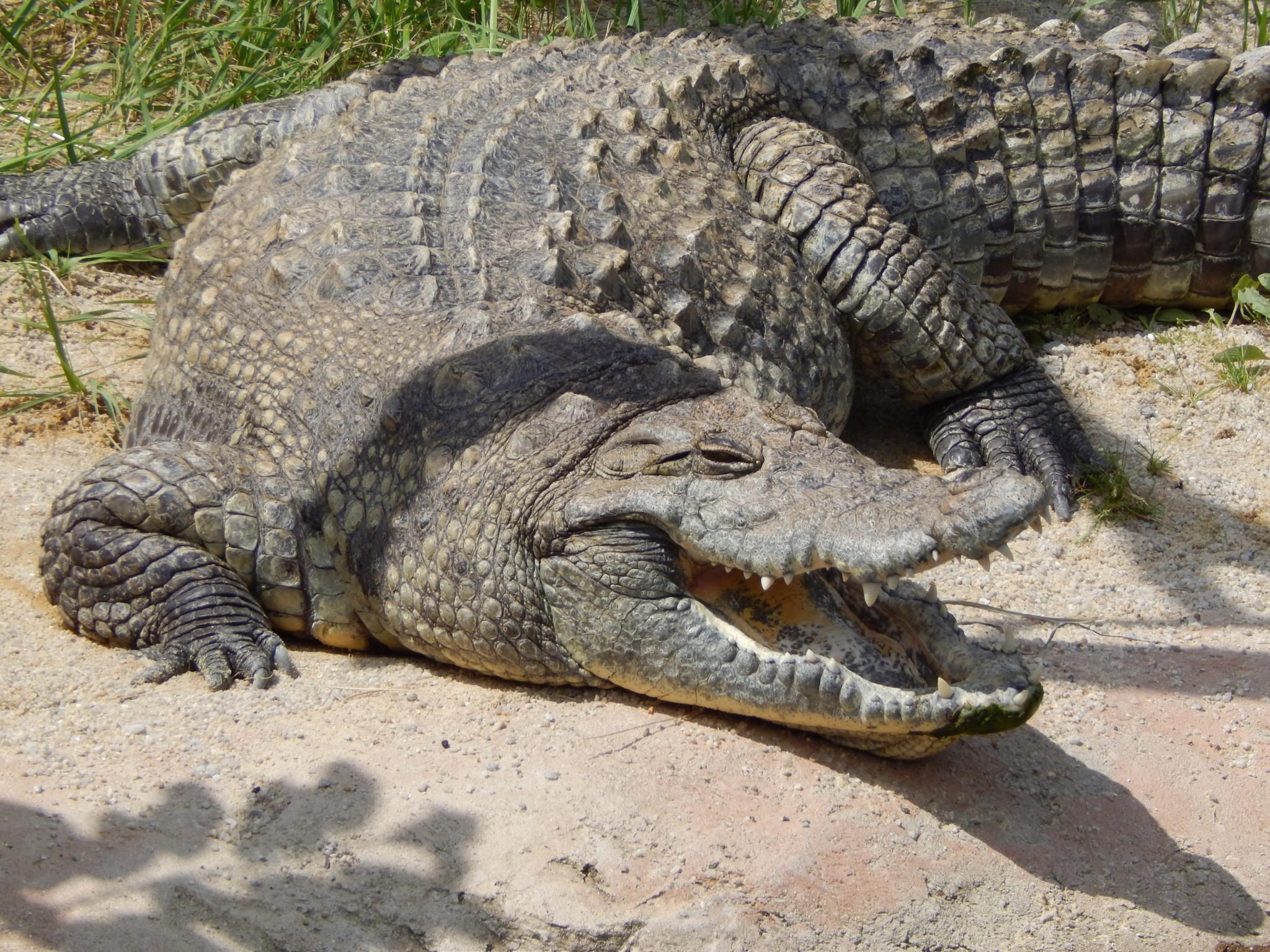 Traumdeutung Krokodil | Warum Krokodile Im Traum verwandt mit Warum Weinen Krokodile Beim Fressen