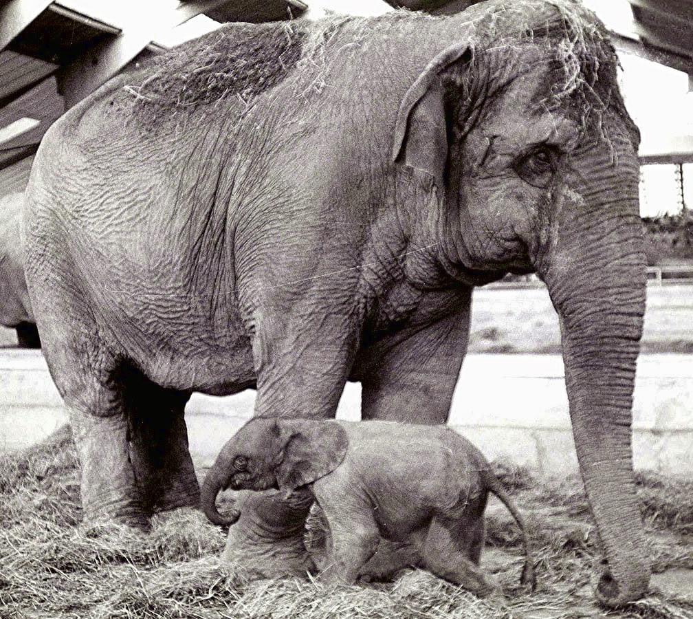 Unterschiede Zwischen Afrikanischen Und Asiatischen bestimmt für Indische Und Afrikanische Elefanten