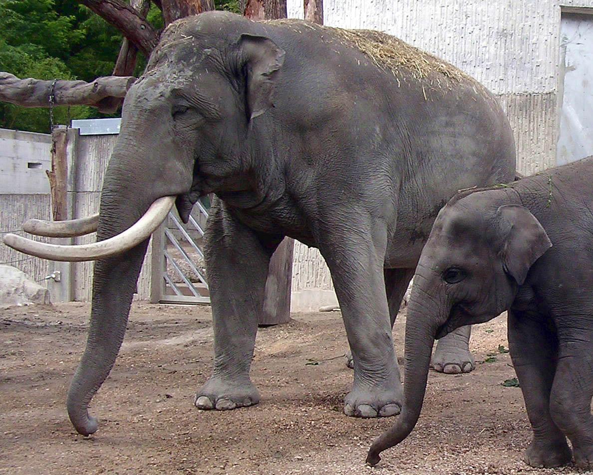Unterschiede Zwischen Afrikanischen Und Asiatischen ganzes Indische Und Afrikanische Elefanten