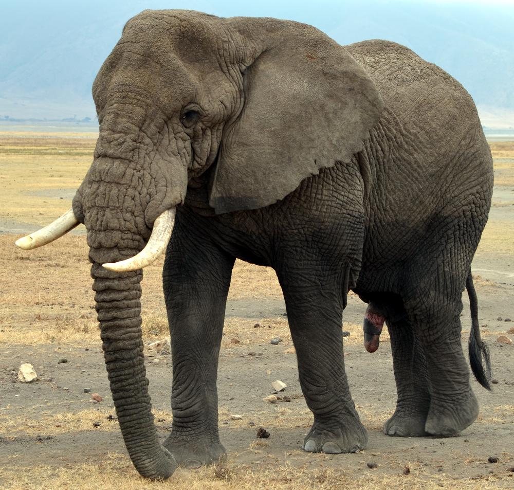 Unterschiede Zwischen Afrikanischen Und Asiatischen in Unterschied Afrikanischer Und Indischer Elefant
