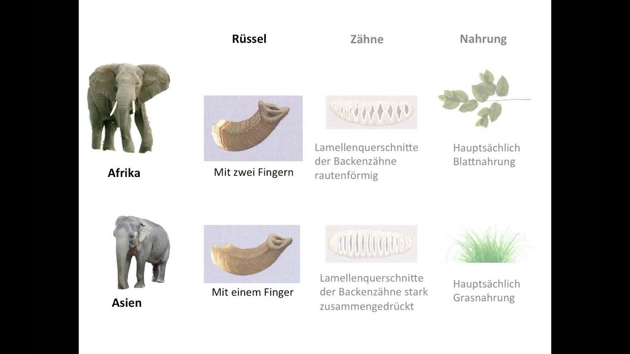Unterschiede Zwischen Den Afrikanischen Und Asiatischen Elefanten. innen Unterschied Afrikanischer Und Indischer Elefant