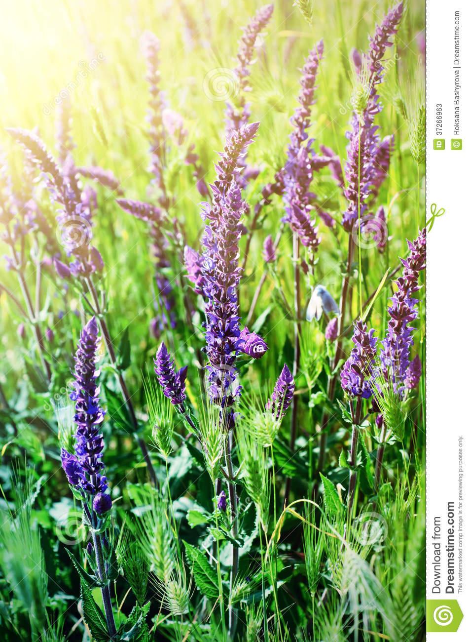 Violette Wiesenblume Stockbild. Bild Von Schönheit, Blau für Wiesenblume Violett