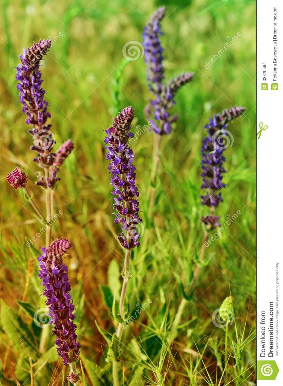 Violette Wiesenblume Stockfoto. Bild Von Nahaufnahme - 33320594 mit Wiesenblume Violett