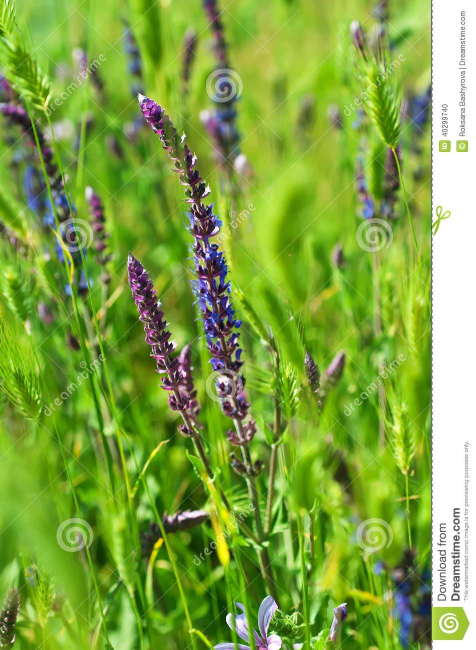 Violette Wiesenblume Stockfoto. Bild Von Violett, Frisch über Wiesenblume Violett