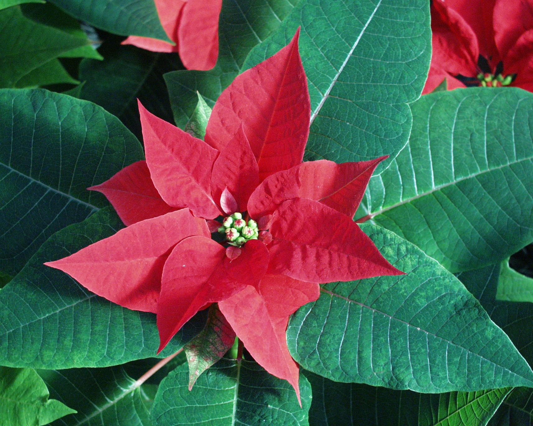 Weihnachtsstern | Bgbm bestimmt für Weihnachtsstern Bild