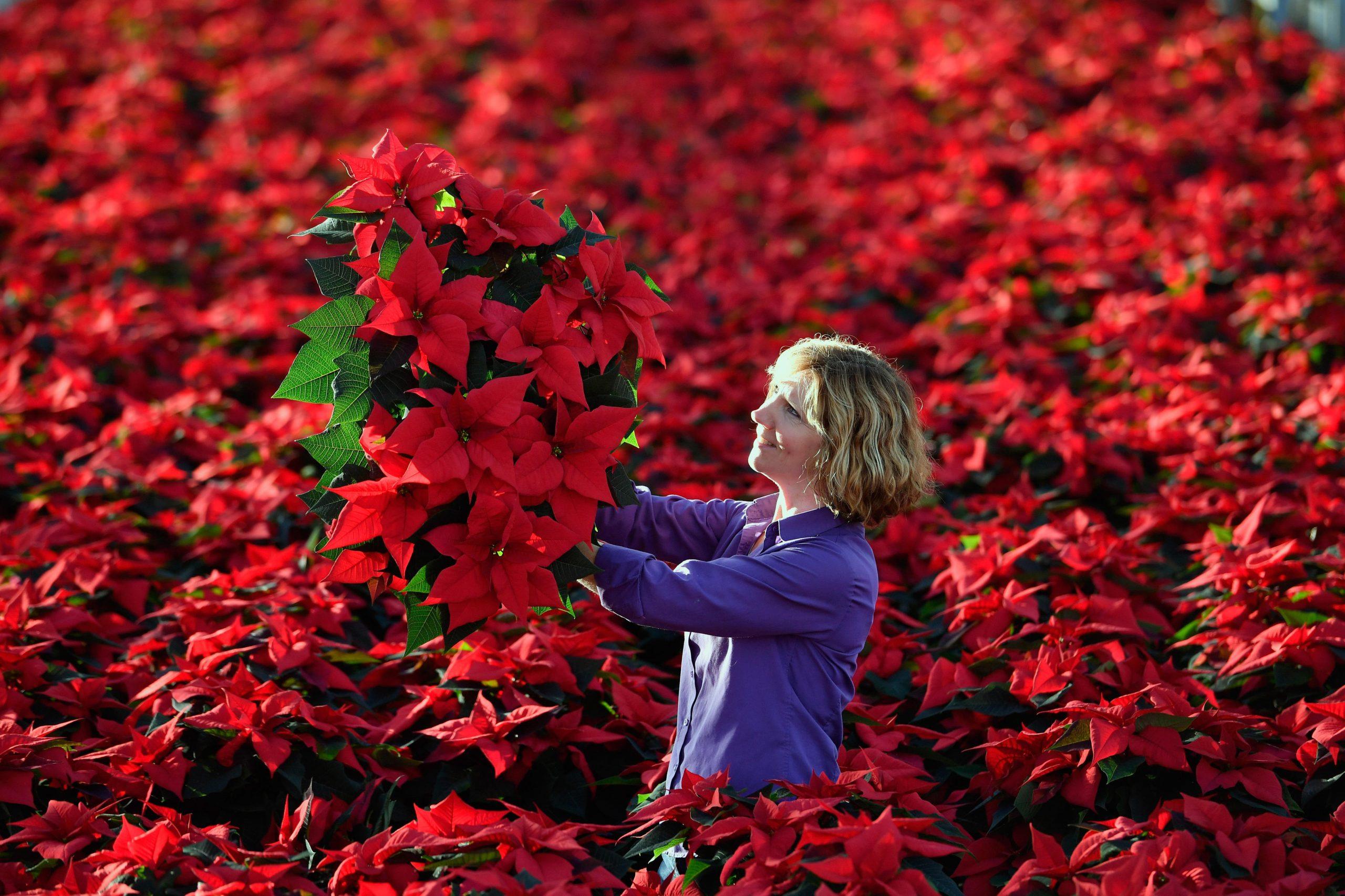 Weihnachtsstern (Pflanze): Das Verraten Die Blätter Über mit Weihnachtsstern Bild
