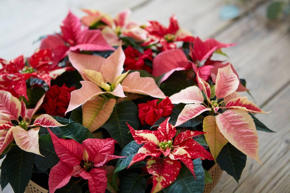 Weihnachtsstern-Pflege: So Blüht Die Poinsettie Im Ganzen verwandt mit Weihnachtsstern Bild