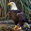 Weißkopfseeadler Bilder Zum Ausdrucken Kostenlos über Adler Bilder Zum Ausdrucken