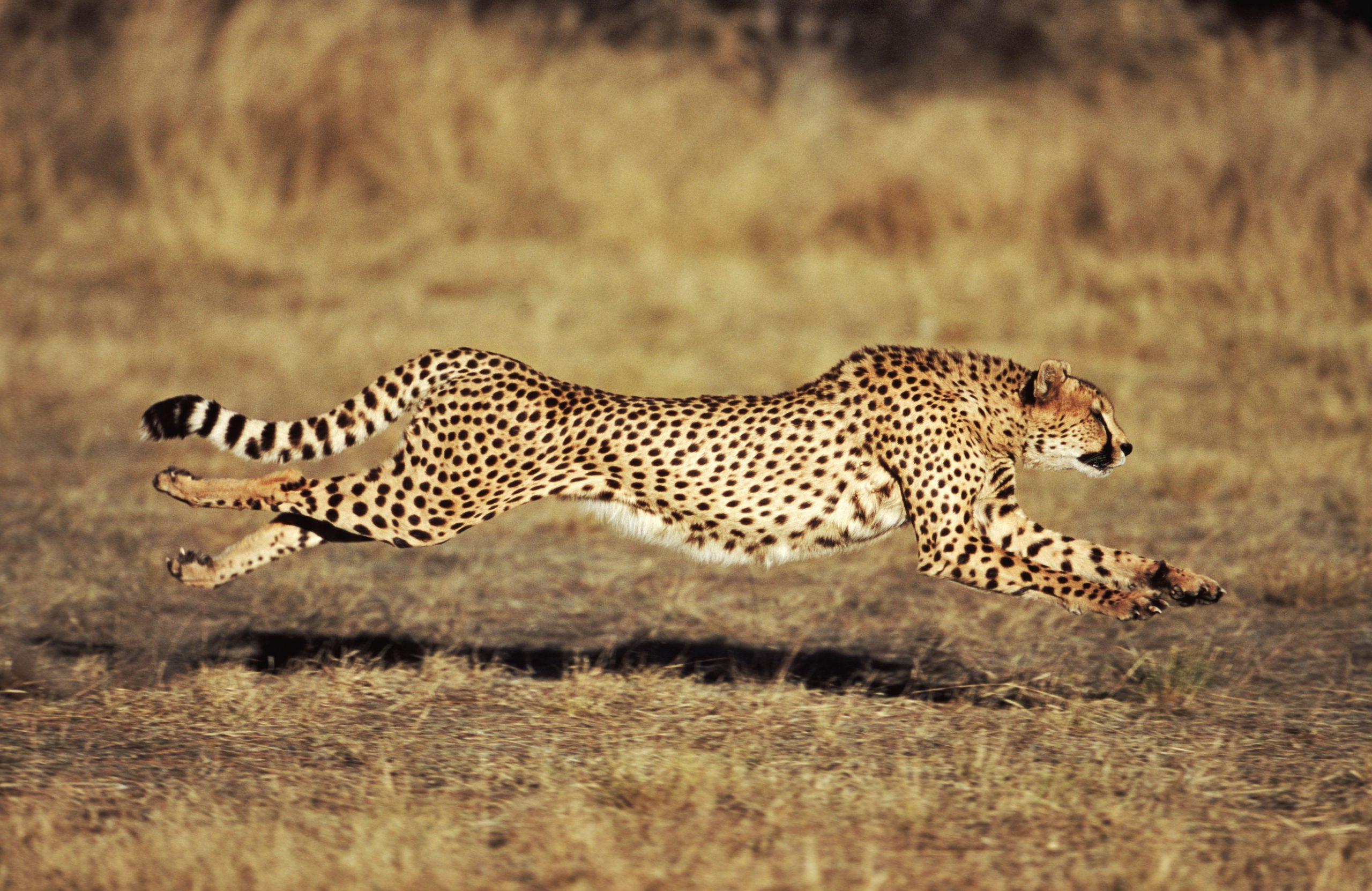Wie Schnell Kann Ein Cheetah Run? verwandt mit Was Ist Das Schnellste Tier Der Welt