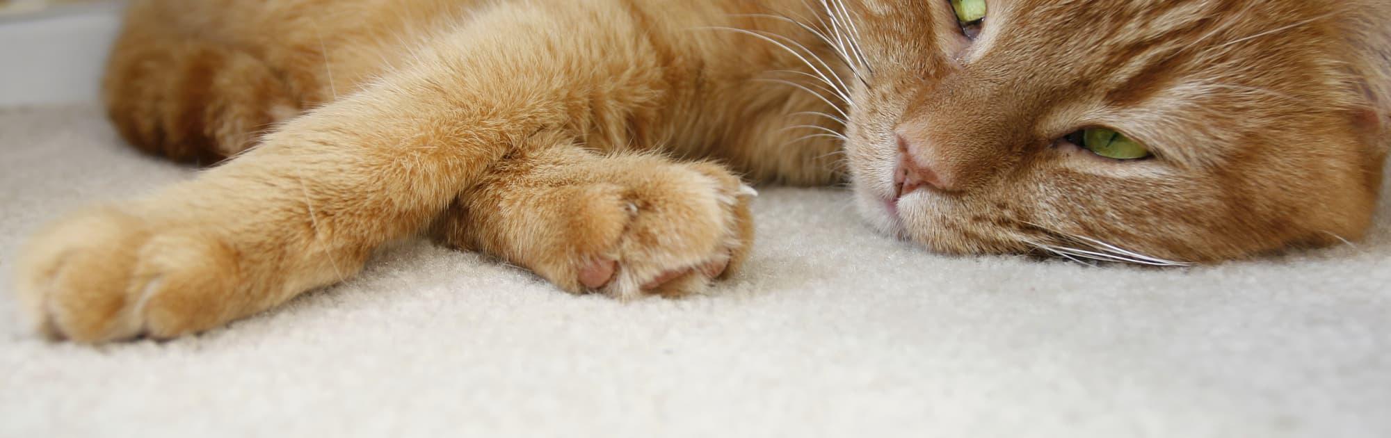 Wie Und Warum Schnurren Katzen? - Spektrum Der Wissenschaft innen Was Bedeutet Es Wenn Eine Katze Schnurrt