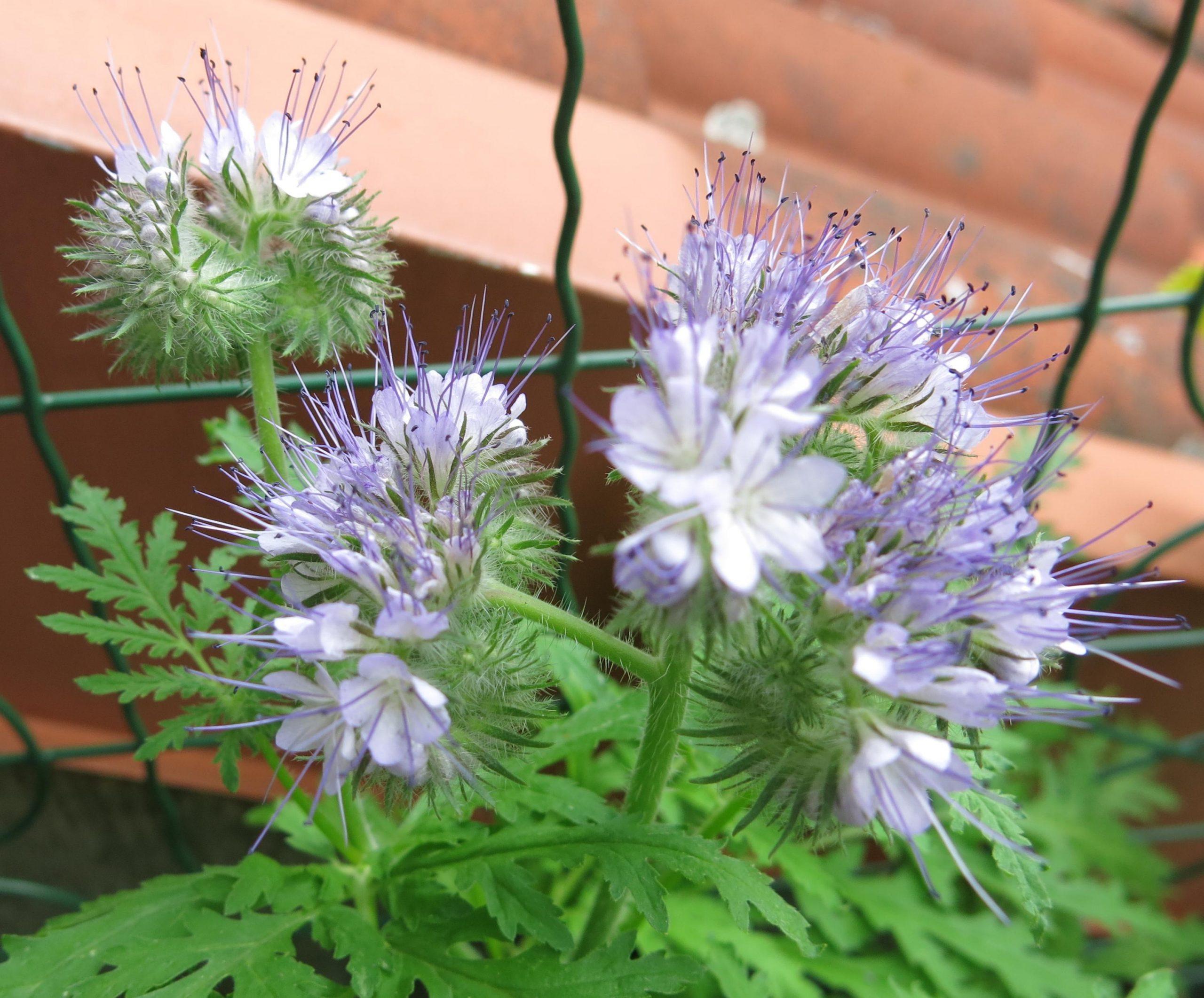 Wiesenblumen | Der Grillenscheucher verwandt mit Wiesenblume Violett