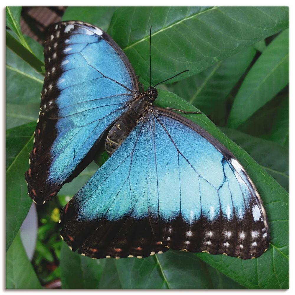 Wonderful Dream Picture: Blauer Schmetterling In Der Freien Natur Insekt  Tier - Leinwandbild | Artgalerie-Bildershop für Schmetterling Insekt